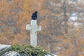Alpine chough on white cross at snowfall, Pyrrhocorax graculus, National Park, Gran Paradiso, Italy, Europe