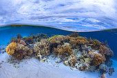 Patate de corail sur platier dans la passe en S lors d'une grande marée basse, Mayotte