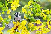 Pic épeiche (Dendrocopos major) sur une branche en automne, Angleterre