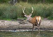 Red deer (Cervus elaphus) stag standing in water, England