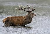Red deer (Cervus elaphus) walking in water, England