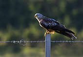 Red kite (Milvus milvus) perched on a fence post, England