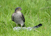 Sparrowhawk (Accipiter nisus) with a prey, England