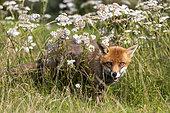 Red fox (Vulpes vulpes) amongst flowers, England