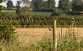 Starling (Sturnus vulagaris) perched on a brabed wire fence, England
