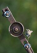 Wren (Troglodytes troglodytes) perched on a piece of metal, England