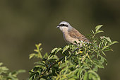 Red-backed Shrike (Lanius collurio) perched on a wild rose, Italy