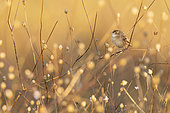 Zitting Cisticola (Cisticola juncidis), adult perched on a stem at sunset, Campania, Italy