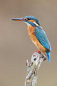Common Kingfisher (Alcedo atthis), adult female perched on a dead branch, Campania, Italy
