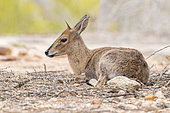 Common Duiker (Sylvicapra grimmia), adult female sitting on the ground, Mpumalanga, South Africa