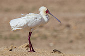 African Spoonbill (Platalea alba), side view of an adult standing on the ground, Western Cape, South Africa