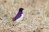 Violet-backed Starling (Cinnyricinclus leucogaster), side view of an adult standing on the ground., Mpumalanga, South Africa