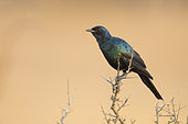 Burchell's Starling (Lamprotornis australis), side view of an adult perched on a branch, Mpumalanga, South Africa