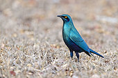 Greater Blue-eared Starling (Lamprotornis chalybaeus), adult standing on the ground, Mpumalanga, South Africa