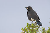 Pied Starling (Lamprotornis bicolor), juvenile perched on a bush, Western Cape, South Africa