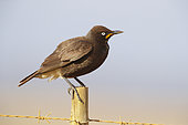 Pied Starling (Lamprotornis bicolor), adult perched on a post, Western Cape, South Africa