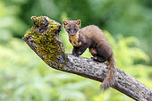 Pine Marten (Martes martes), adult standing on a trunk, Campania, Italy