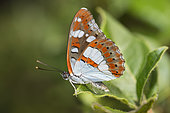 Southern White Admiral (Limenitis reducta) on leaf, Mont Ventoux, Provence, France
