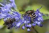 Mining bee (Lasioglossum albocinctum) on flower, Mont Ventoux, Provence, France