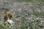 Honey bee (Apis mellifera) gathering a flower of European Heliotrope (Heliotropium europaeum), Mont Ventoux, Provence, France