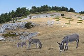 Donkeys of the amiata (Equus africanus asinus) at Mont Serein, Mont Ventoux, Provence, France