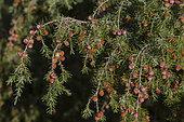Prickly Juniper berries (Juniperus oxycedrus), Mont Ventoux, Provence, France
