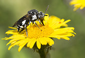 Cuckoo bee (Epeolus fallax) on Rough pigweed elecampagne (Inula hirta) flower, Mont Ventoux, Provence, France