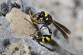 Potter wasp (Eumenes coronatus) female potter wasp building her pot, Mont Ventoux, Provence, France