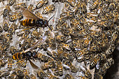 Asian hornets (Vespa velutina) flying over a swarm of honey bees (Apis mellifera), Mont Ventoux, Provence, France