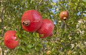 Pomegranate (Punica granatum) fruits on the tree, Mont Ventoux, Provence, France