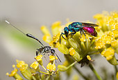 Common ruby-tailed wasp (Chrysis ignita) and Common ruby-tailed wasp (Chrysis ignita) on Shrubby Hare's Ear (Bupleurum fruticosum), Mont Ventoux, Provence, France