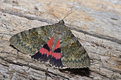 French red underwing (Catocala elocata), Mont Ventoux, Provence, France