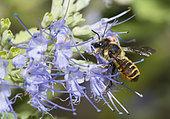 Leaf-cutting bee (Megachile melanopyga) female on flower, Mont Ventoux, Provence, France