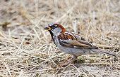Domestic sparrow (Passer domesticus) male, Parc naturel régional des Vosges du Nord, France