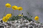 Alpine Poppy (Papaver aurantiacum) in bloom, Mont Ventoux, Provence, France