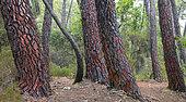 Maritime pine (Pinus pinaster), Ochre quarry of Mormoiron, Mont Ventoux, Provence, France