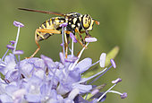Hoverfly (Spilomyia saltuum) on Devilsbit (Succisa pratensis) flower, Mont Ventoux, Provence, France