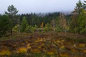 Lispach peat bog in autumn, Ballons des Vosges Regional Nature Park, France