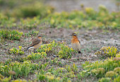 Northern wheatear (Oenanthe oenanthe) in Sea fennel (Crithmum maritimum), Brittany, France