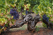 Old vine in the ochres of Mormoiron, Vaucluse, Provence