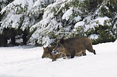 Wild boars in wintertime, Sus scrofa, Germany, Europe