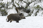Wild boar in wintertime, Sus scrofa, Germany, Europe