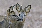 Western roe deers in springtime, Capreolus capreolus, Germany, Europe