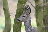 Western roe deer in springtime, Capreolus capreolus, Germany, Europe