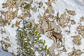 Alpine Chamois (Rupicapra rupicapra) young in a snowy wall of the north face of Mont Ventoux (1910m), Provence, France
