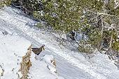 Chamois des Alpes (Rupicapra rupicapra) dans la face nord du Mont Ventoux (1910m), Provence, France