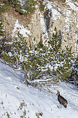 Alpine Chamois (Rupicapra rupicapra) in the north face of Mont Ventoux (1910m), Provence, France