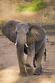 African bush elephant (Loxodonta africana) male front view in Kruger National park, South Africa