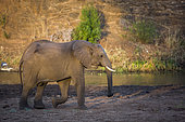 African bush elephant (Loxodonta africana) walking on riverside at dawn in Kruger National park, South Africa