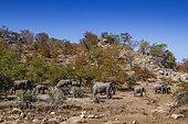 African bush elephant (Loxodonta africana) herd walking in boulder scenery in Kruger National park, South Africa